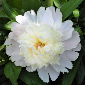 products/Peony_Charlie_s_White.PXBAY.jpg