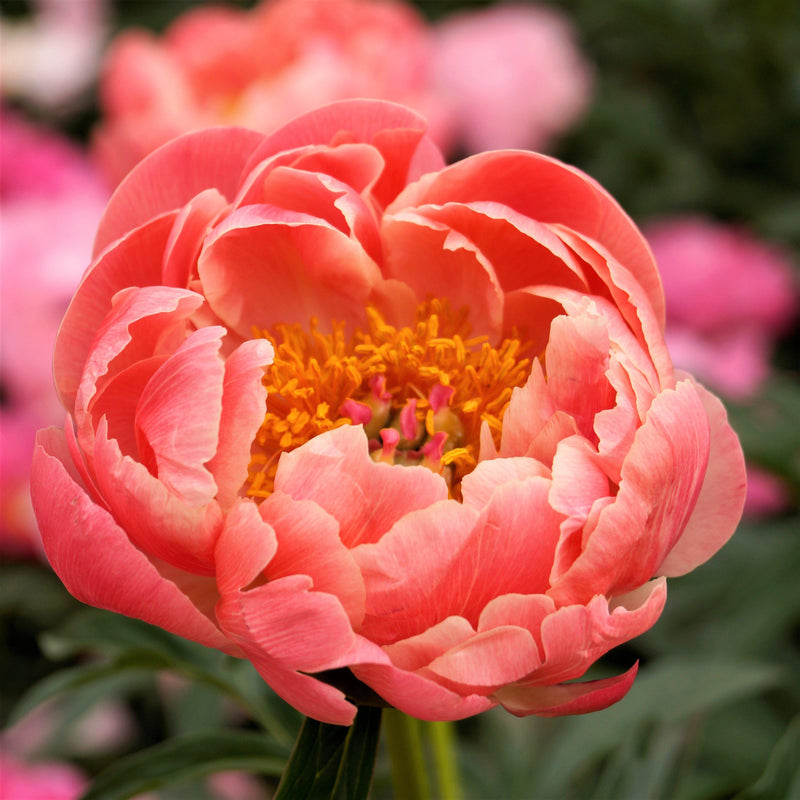 Peony Coral Charm (Fragrant) flower