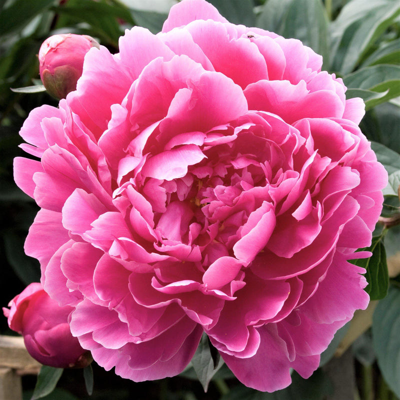 Pink Peony Flower Dr Alexander Fleming