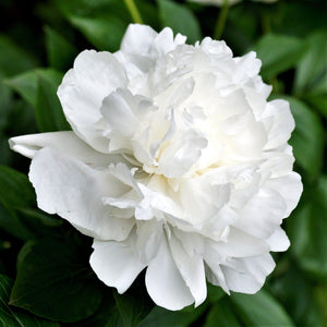 products/Peony_Duchess_de_Numerous.SHUT.jpg