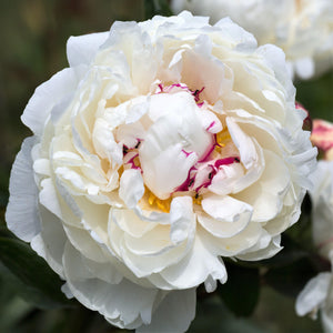 White Peony Bulbs For Sale Online | Festiva Maxima (Fragrant)