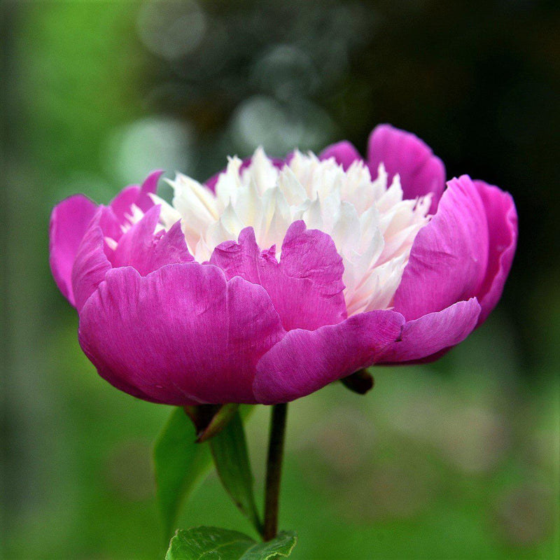Vibrant Pink Peony Bulbs For Sale | Gay Paree (Fragrant)