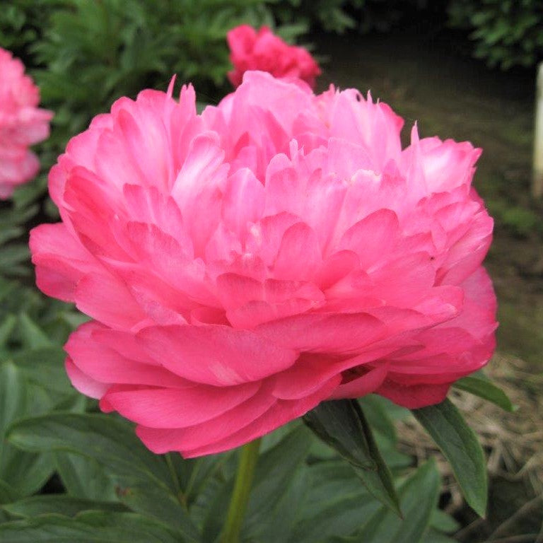 Pink Peony Joker Flower bulbs for sale