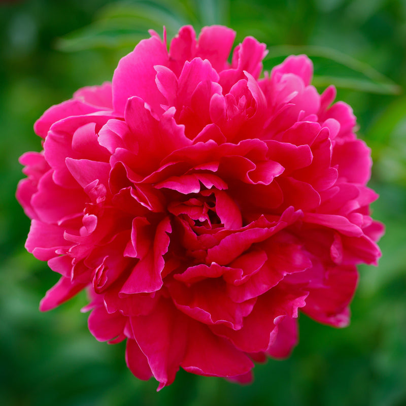 Carmine Red Peony Bulbs For Sale | Kansas (Fragrant)