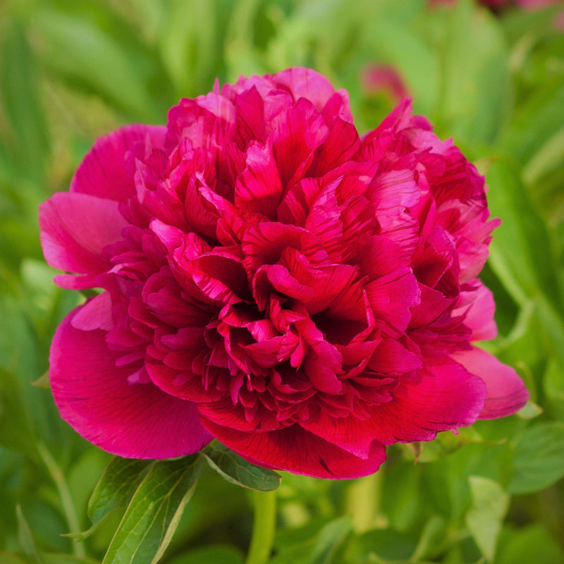 Ruby Red Peony Bulbs For Sale Online | Koppius (Fragrant)