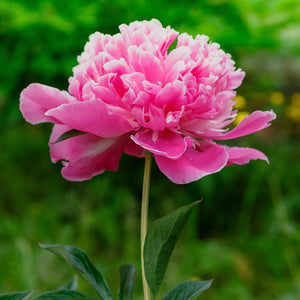products/Peony_Madame_Emile_Debatene_Square.SHUT_2.jpg