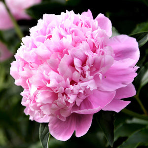 Soft Pink Peony Bulbs For Sale | Monsieur Jules Elie (Fragrant)