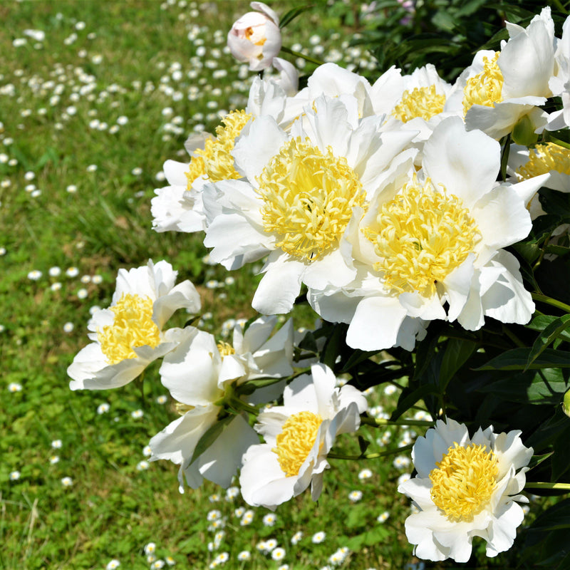 Flowers of Pure White Peony Moon of Nippon