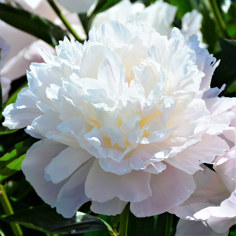 White Peony Officinalis Alba Plena (Fragrant)