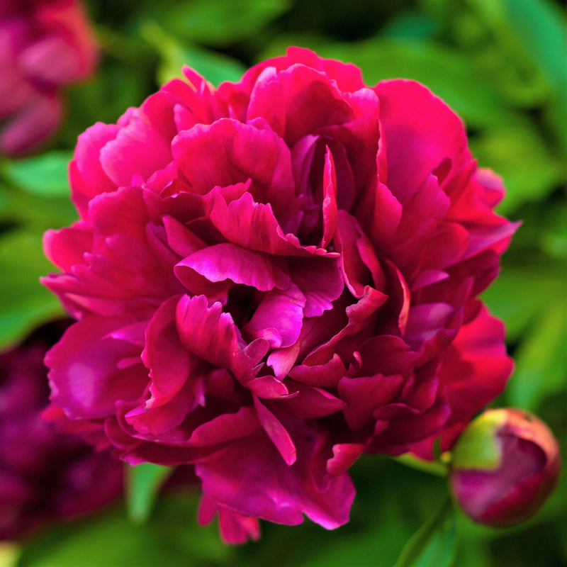Deep Red Peony Bulbs For Sale | Rubra Plena (Fragrant)