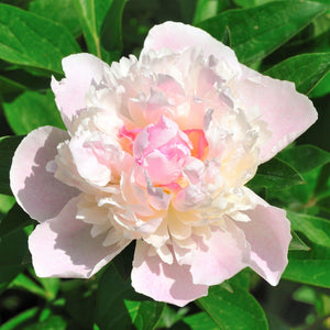 Pale Pink Peony Flower Shirley Temple