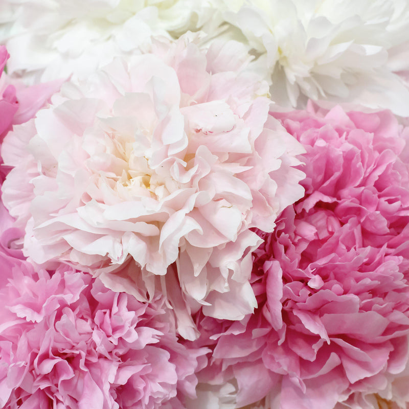 Sweetly Scented Peony Flowers