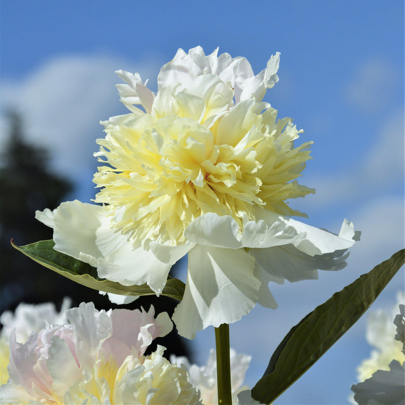 Ivory White Peony Bulbs For Sale | Peony Top Brass (Fragrant)