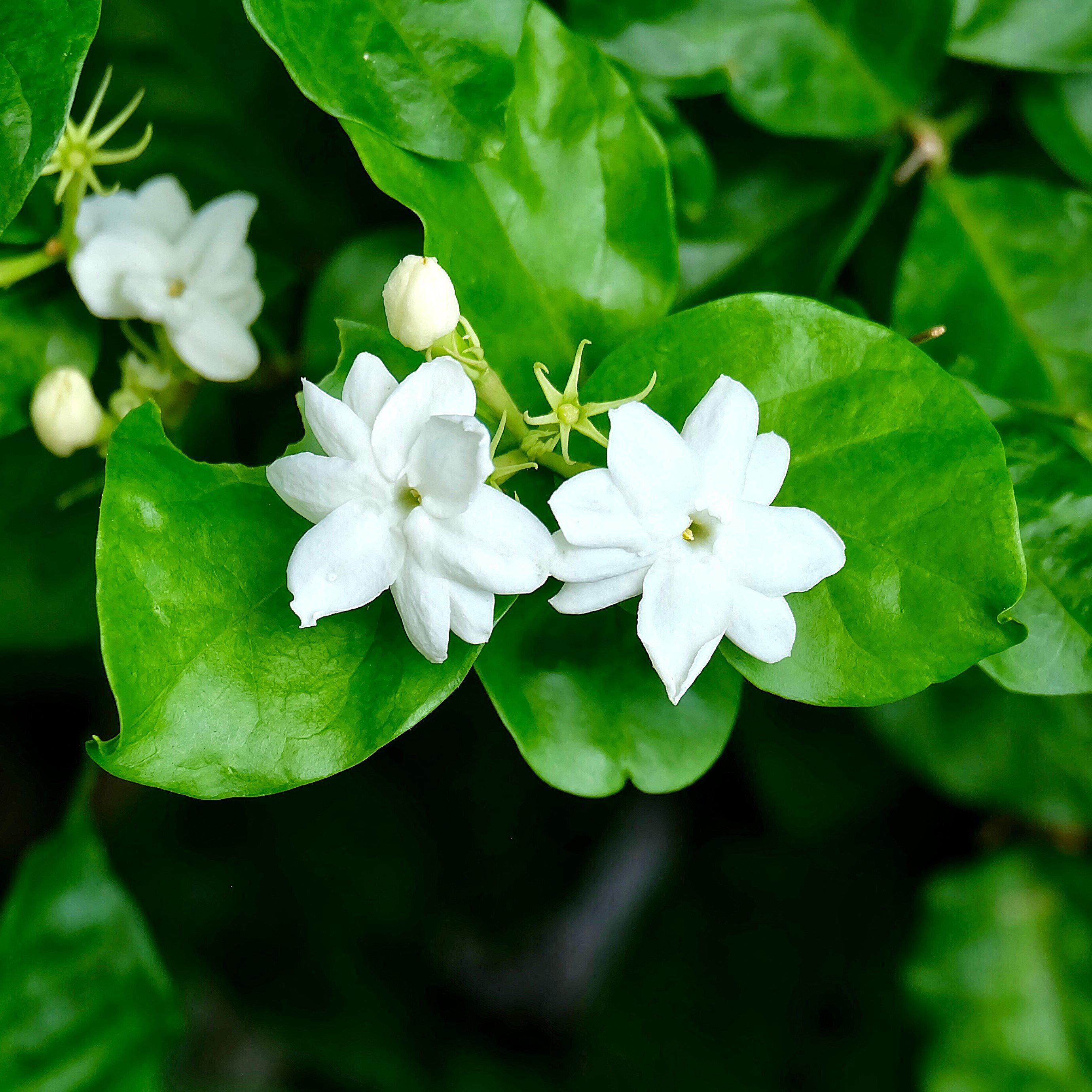 White Potted Jasmine Plant For Sale