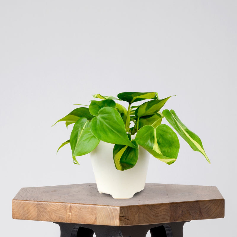 Philodendron Brasil in a White Ceramic Pot