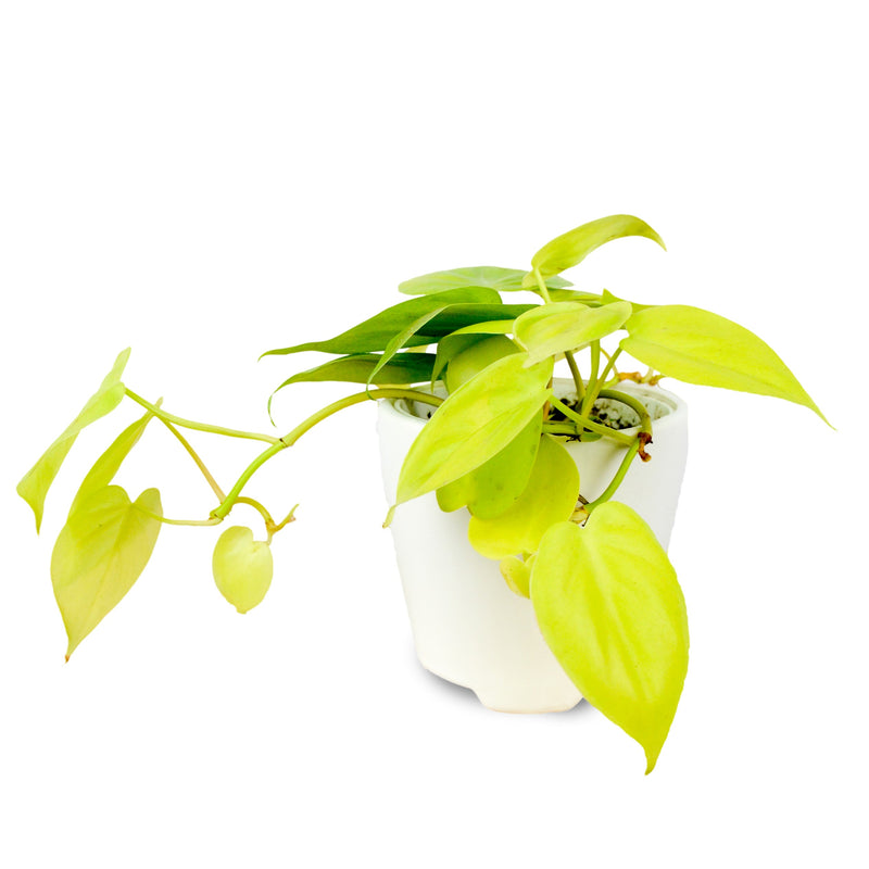 Philodendron Neon in a White Ceramic Pot