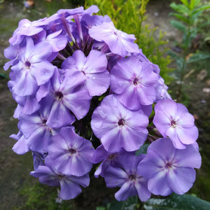 phlox blue boy flowers