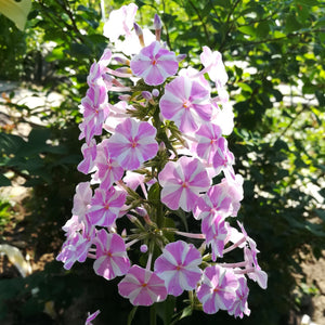 pink and white phlox blooms