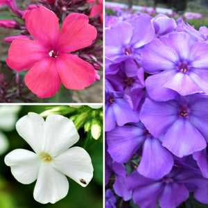 Phlox Summer Fragrant Collection