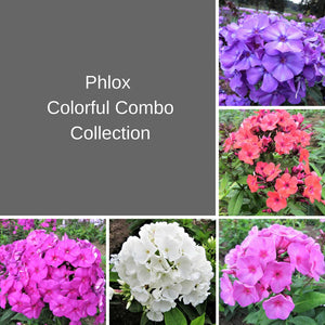 Phlox Colorful Combo Collection