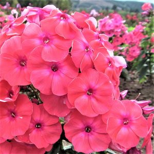 products/Phlox_Coral_Flame.DG.jpg