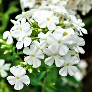products/Phlox_David.SHUT.jpg