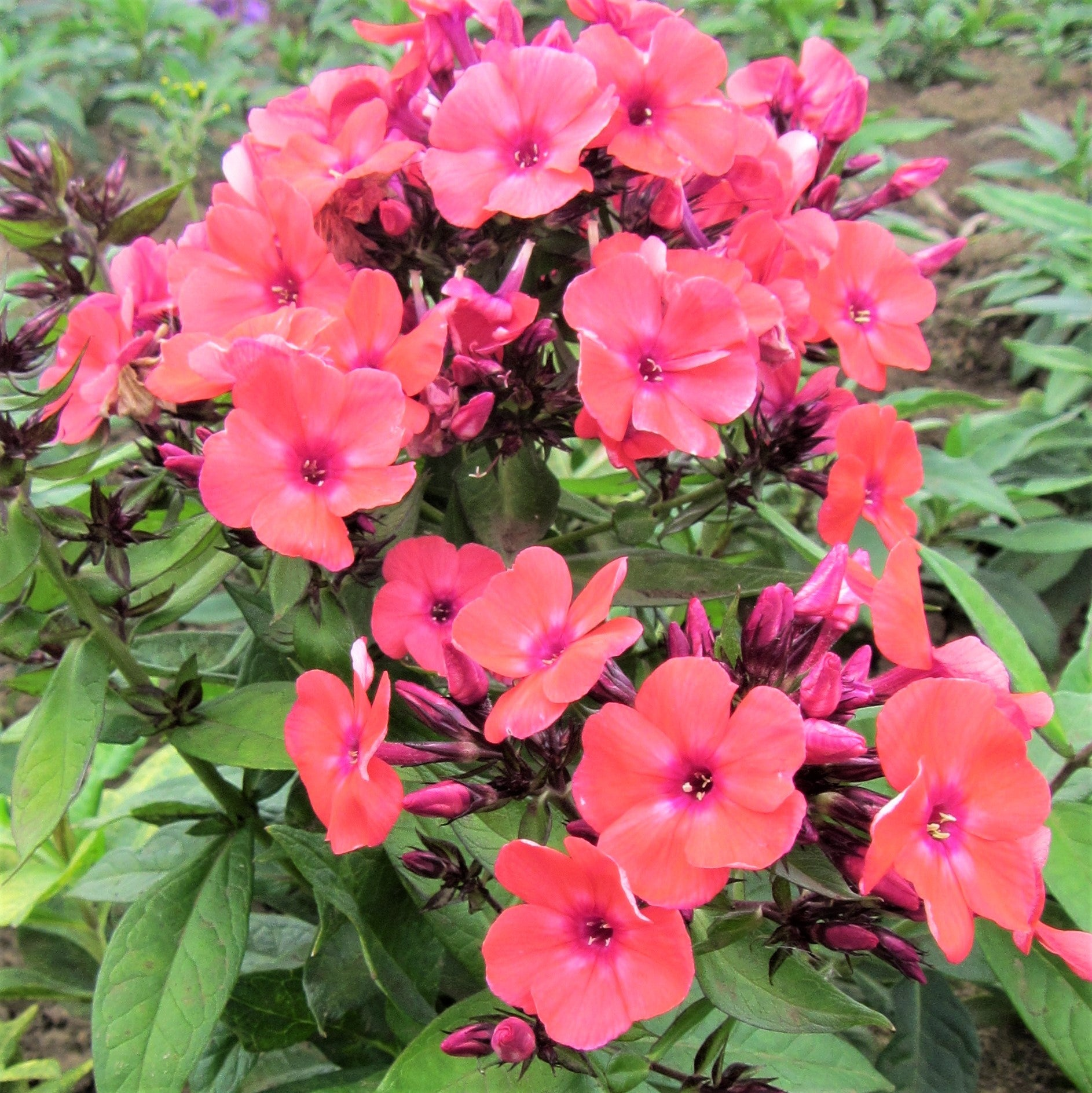 Garden Bush: Phlox Colorful Combo Collection