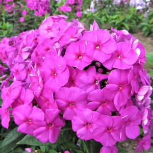 products/Phlox_Purple_Flame.DG.jpg