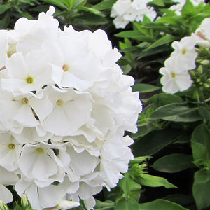 Phlox White Flame
