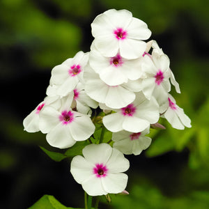 Phlox White w/Red Eye Flame