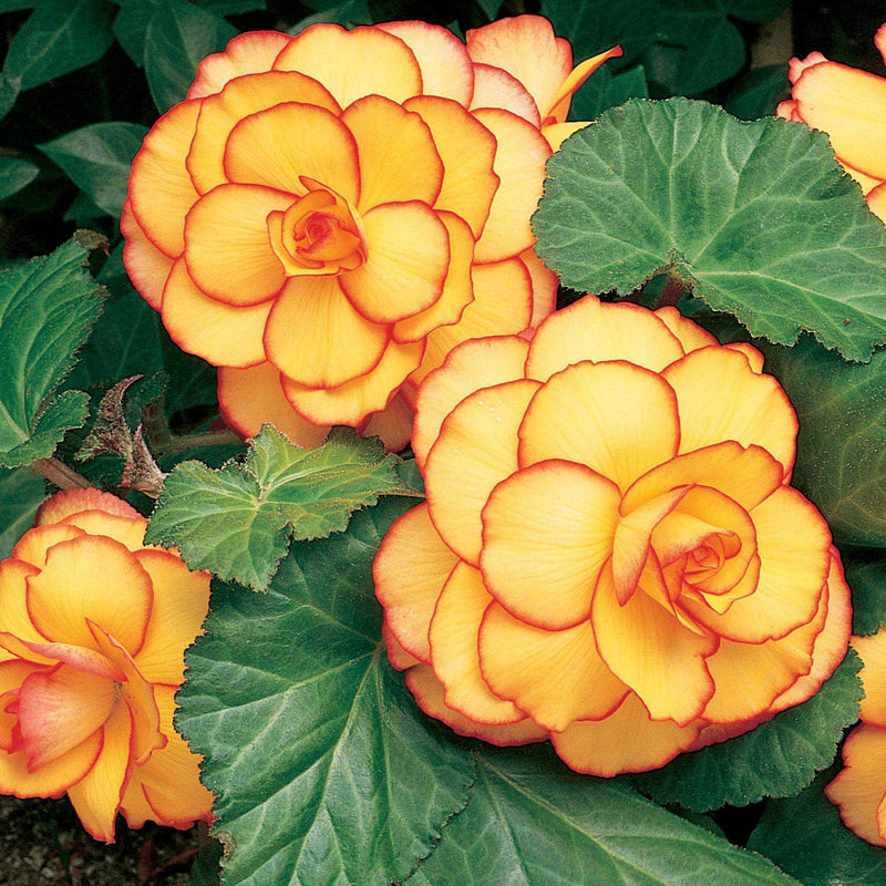 Lace Summer Sunset Collection Begonia