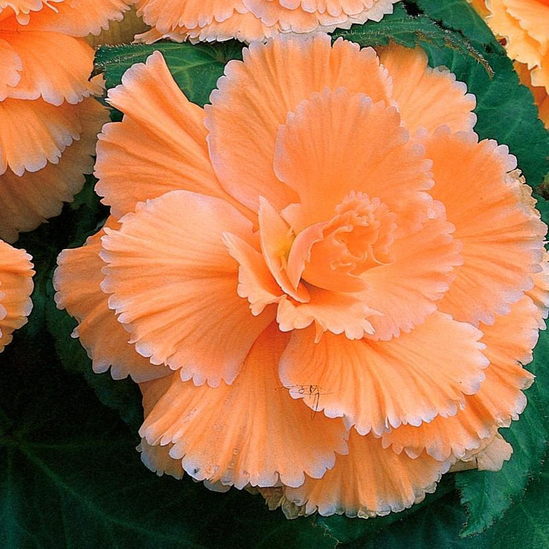 Begonia Lace Summer Sunset Collection