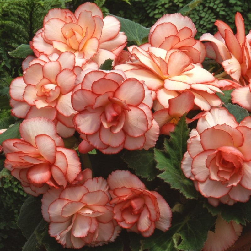 Lace Summer Sunset Collection Pink Begonias