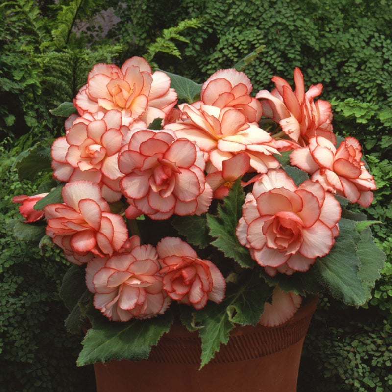 Planter of Sultry Summer Shade Begonia Collection