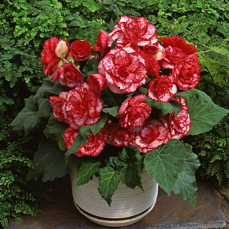 Planter Full of Picotee Flamenco Begonia