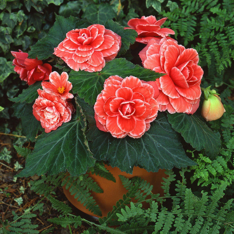 begonia lace salmon flowers