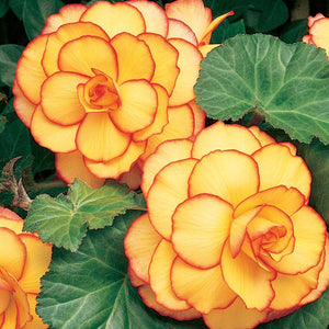Yellow Orange Picotee Sunburst Begonia
