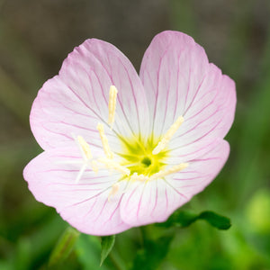 products/Pink_Evening_Primrose_2_.SHUT.jpg