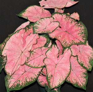 Pretty Pink Splash Caladium