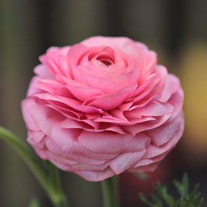 products/Pink_Tecolote_Ranunculus.SHUT.jpg