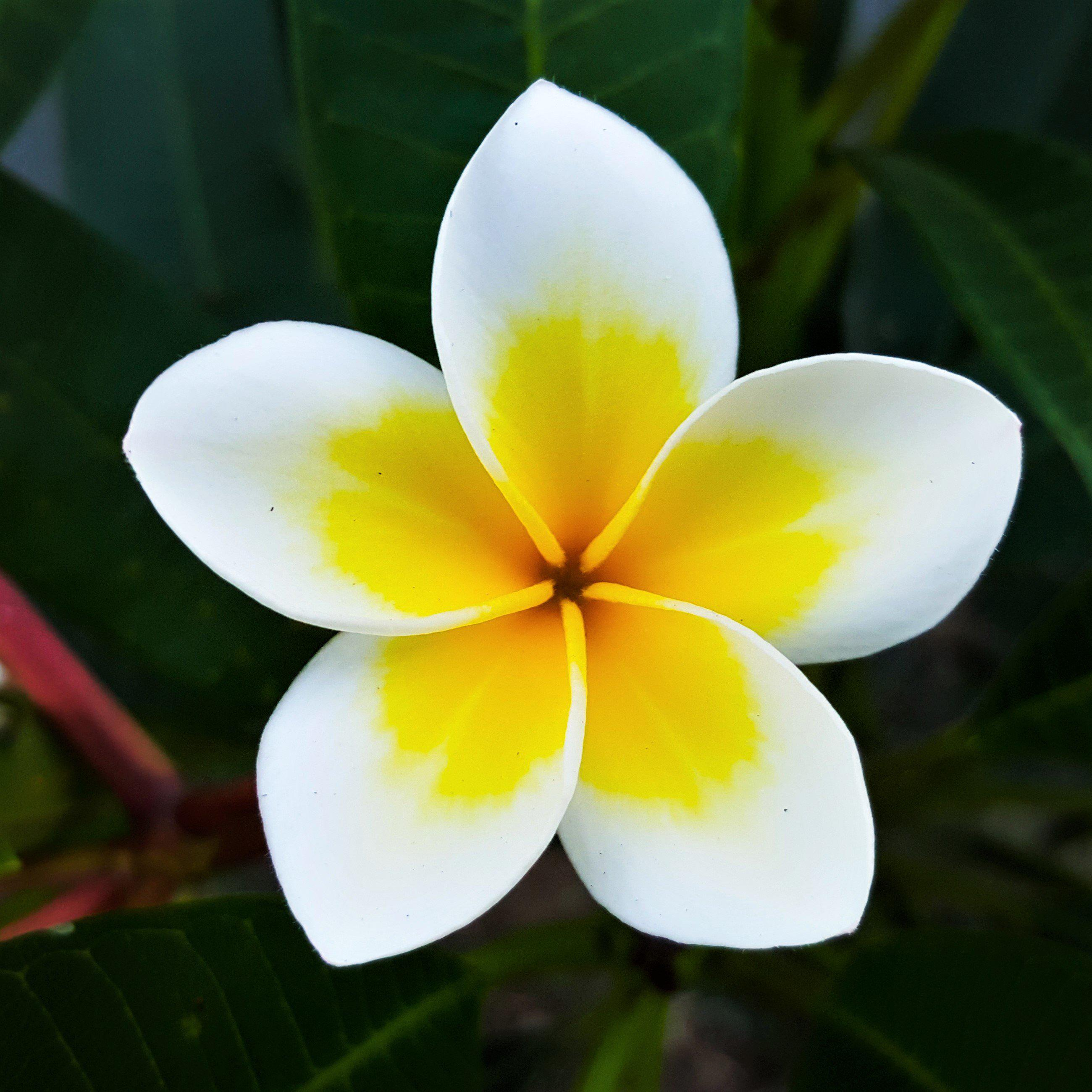Plumeria Plant Select Yellow And Whites Fragrant Potted Plant