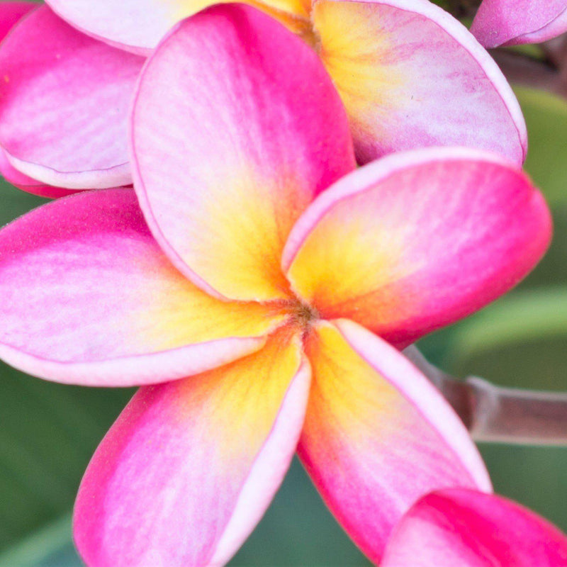 Pink rainbow plumeria flowers for sale