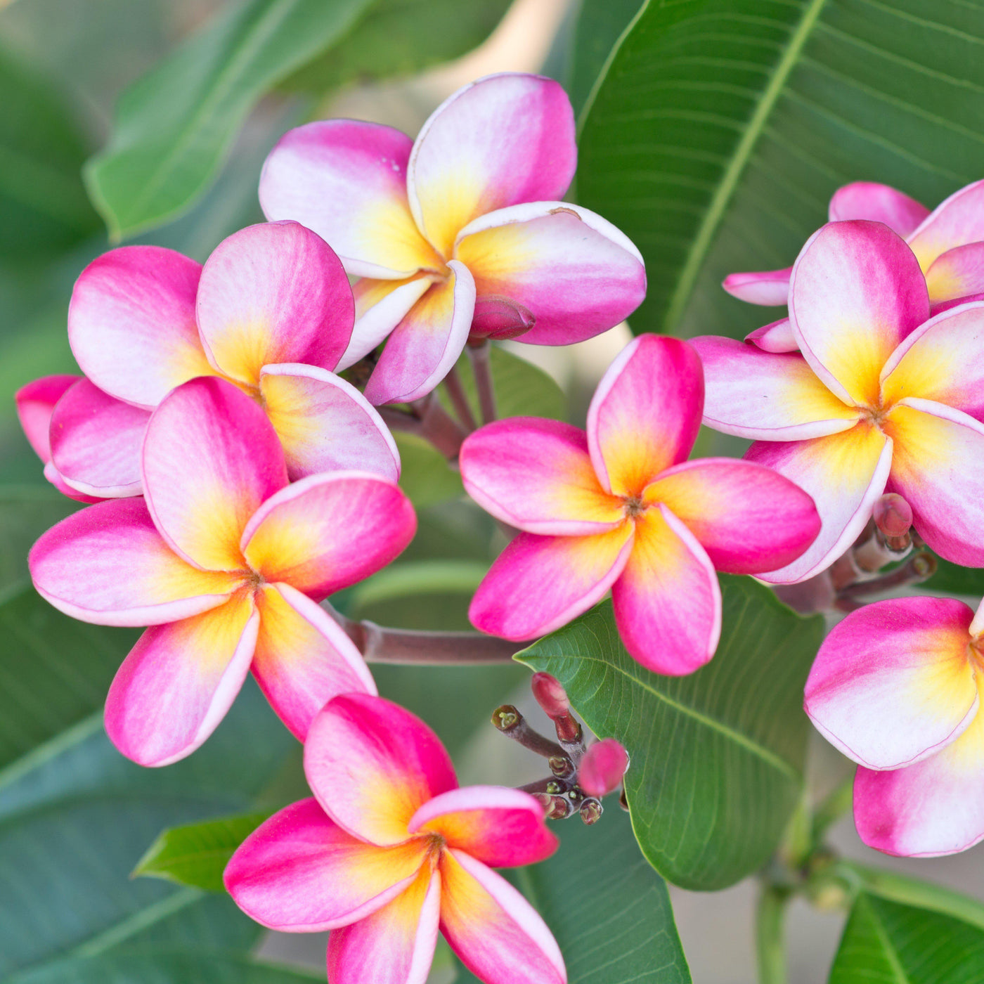 Plumeria Plant Select Pink Rainbows Fragrant Potted Plant Easy