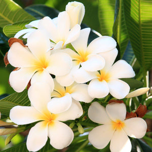 products/Plumeria_Select_Whites.SHUT.jpg