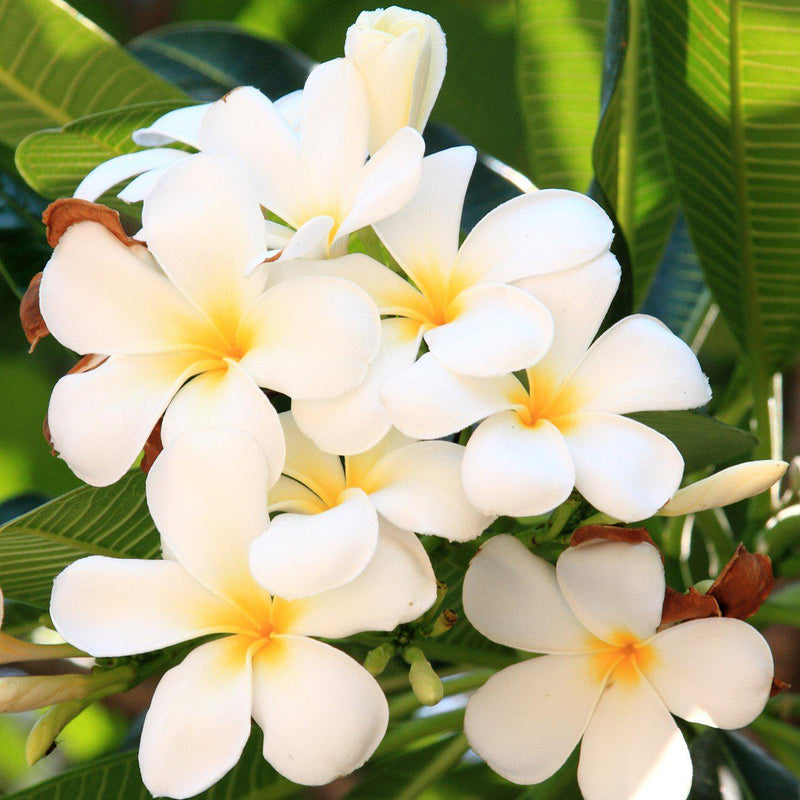 White plumeria plants for sale