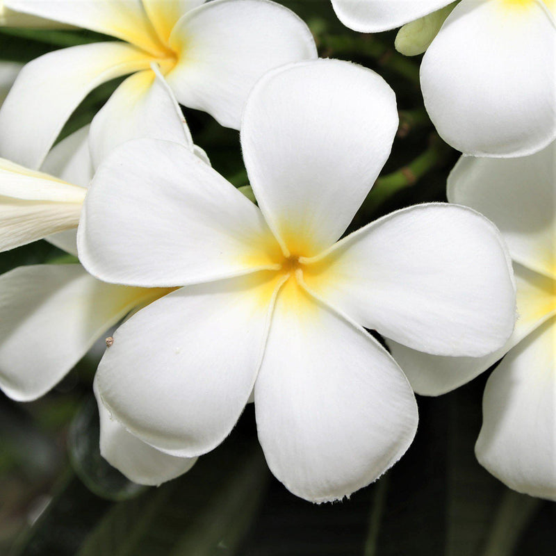 Plumeria Plant Select White (Potted)