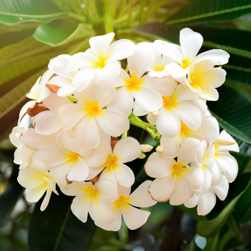 White rooted plumeria plants