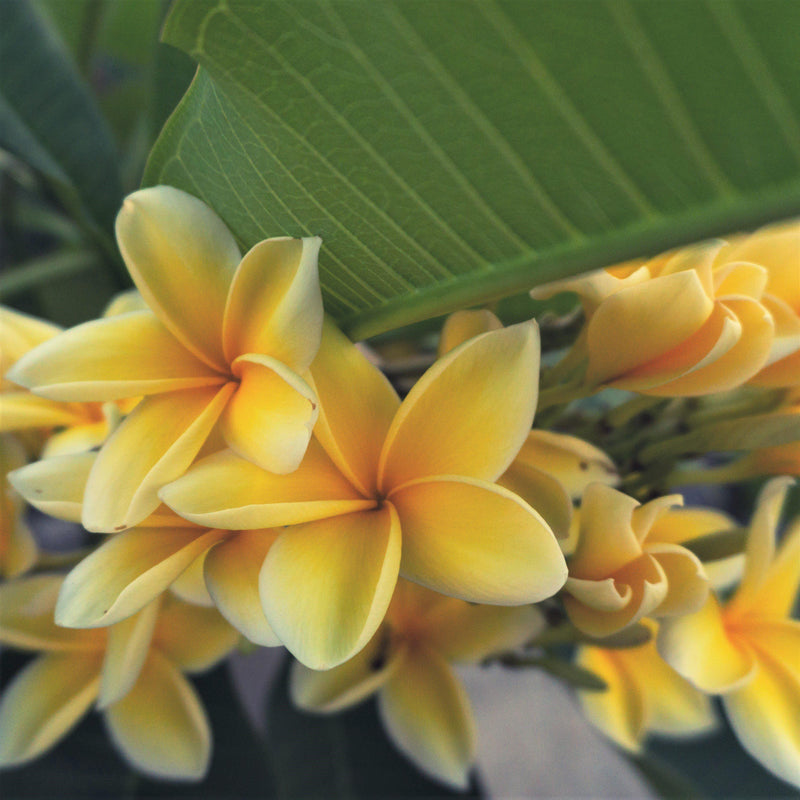 Potted yellow plumeria plants