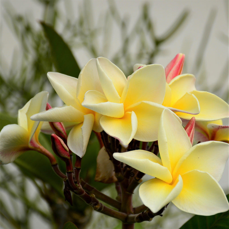 Plumeria Plant Yellow Shades (Potted)