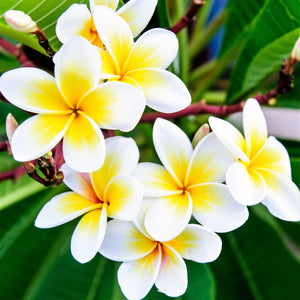 Yellow and white plumeria flowers